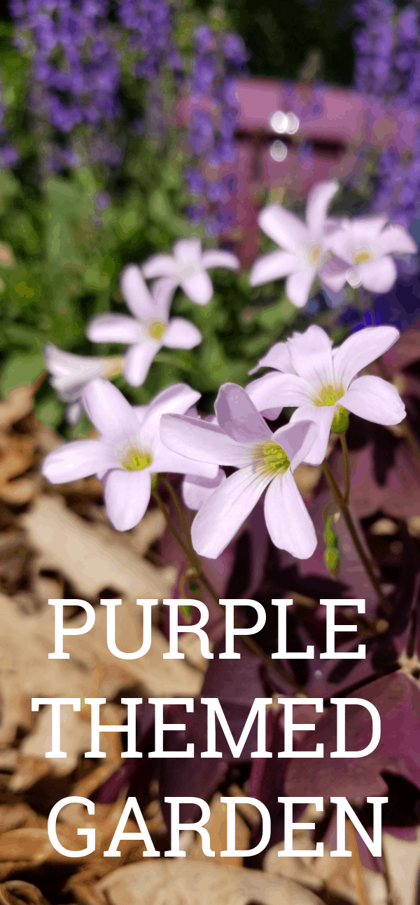 Purple Pots and Blooming Purple Oxalis