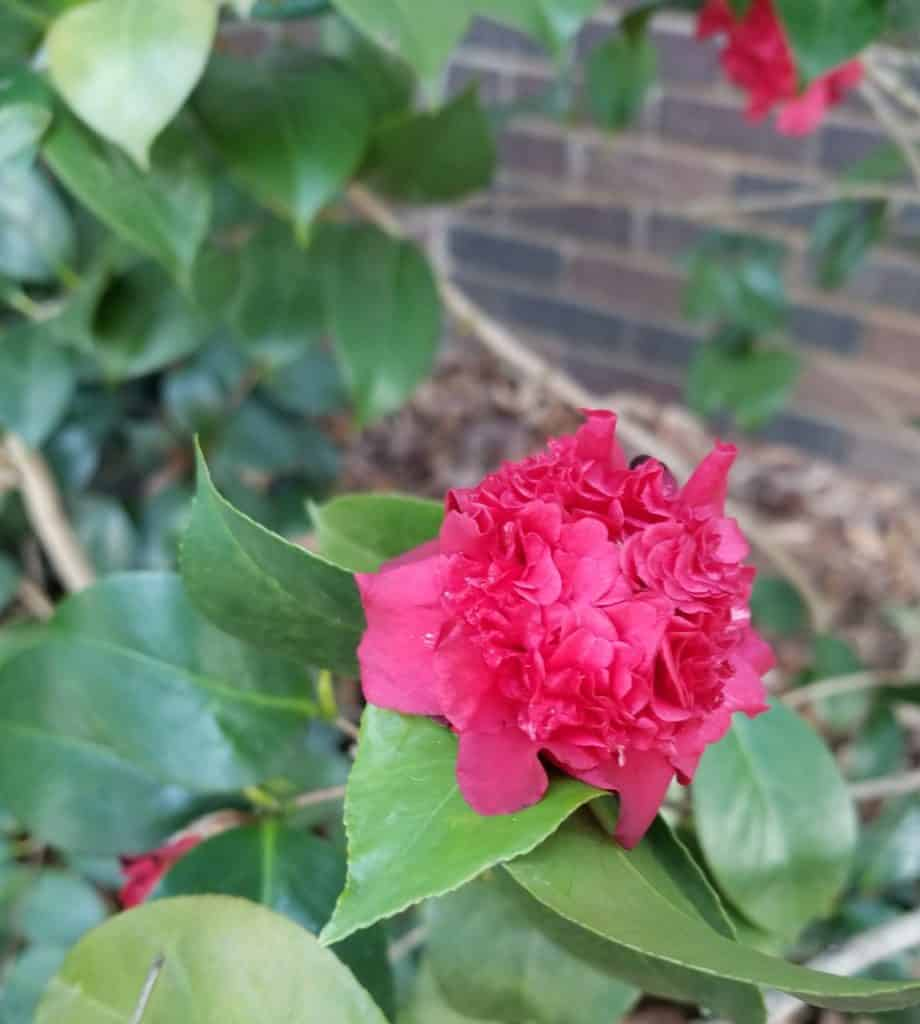 Camellia, red flower, winter flower, red camellia,