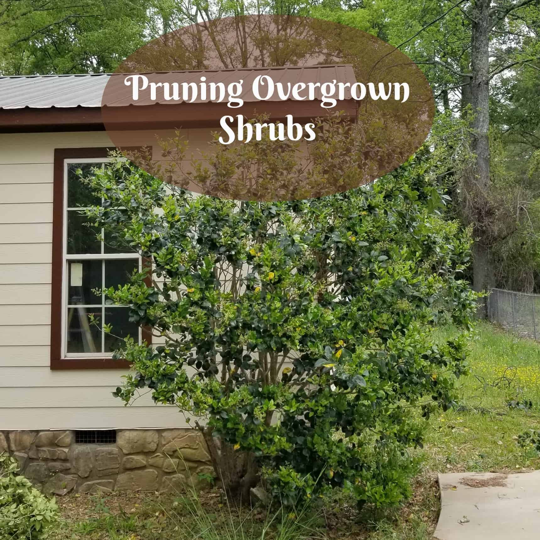 Pruning overgrown shrubs