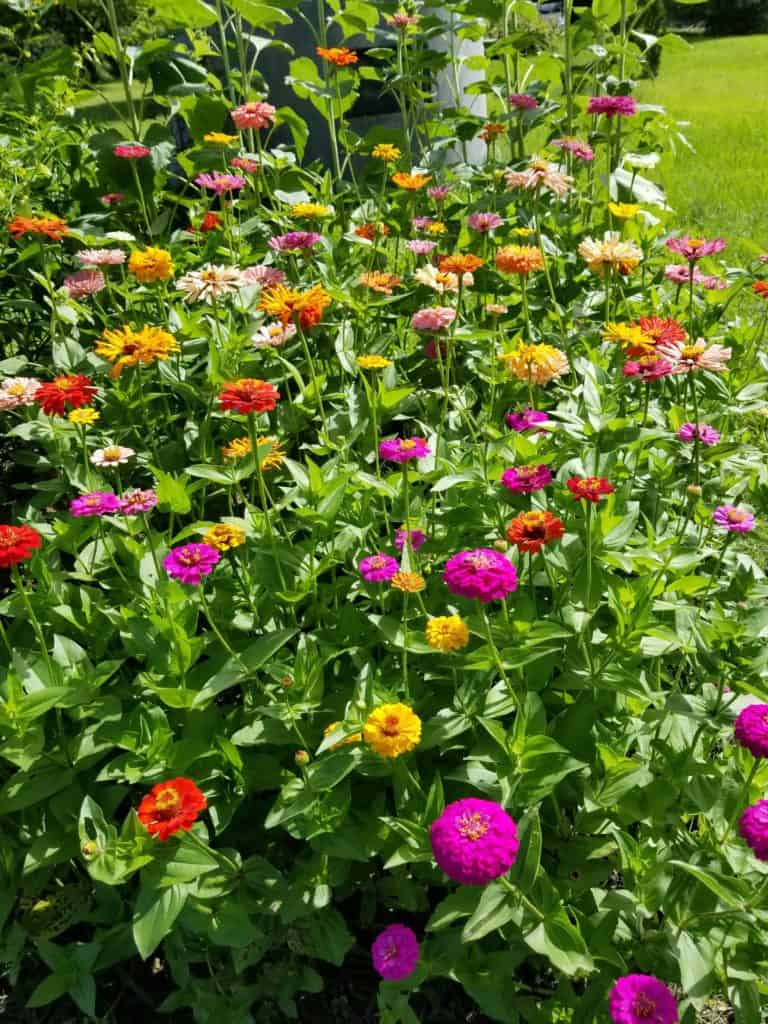 Planting a Cutting Garden, Growing Zinnias, Fresh cut bouquest