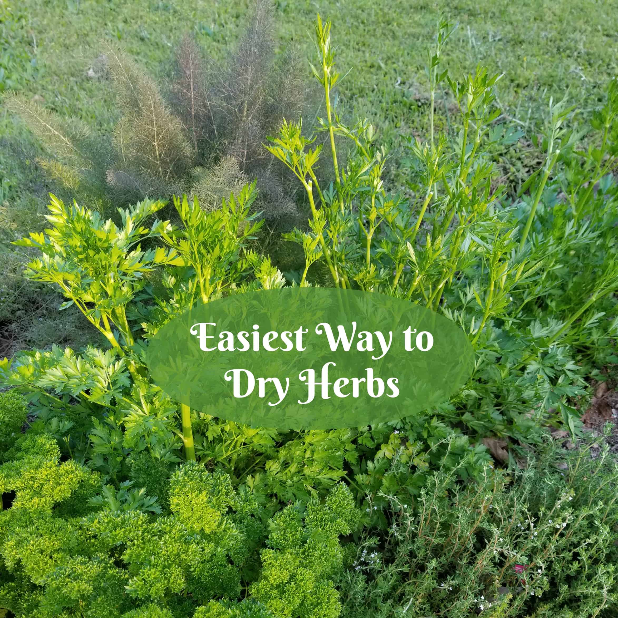 Easiest Way to Dry Herbs, Green herbs spotlighted by sunset