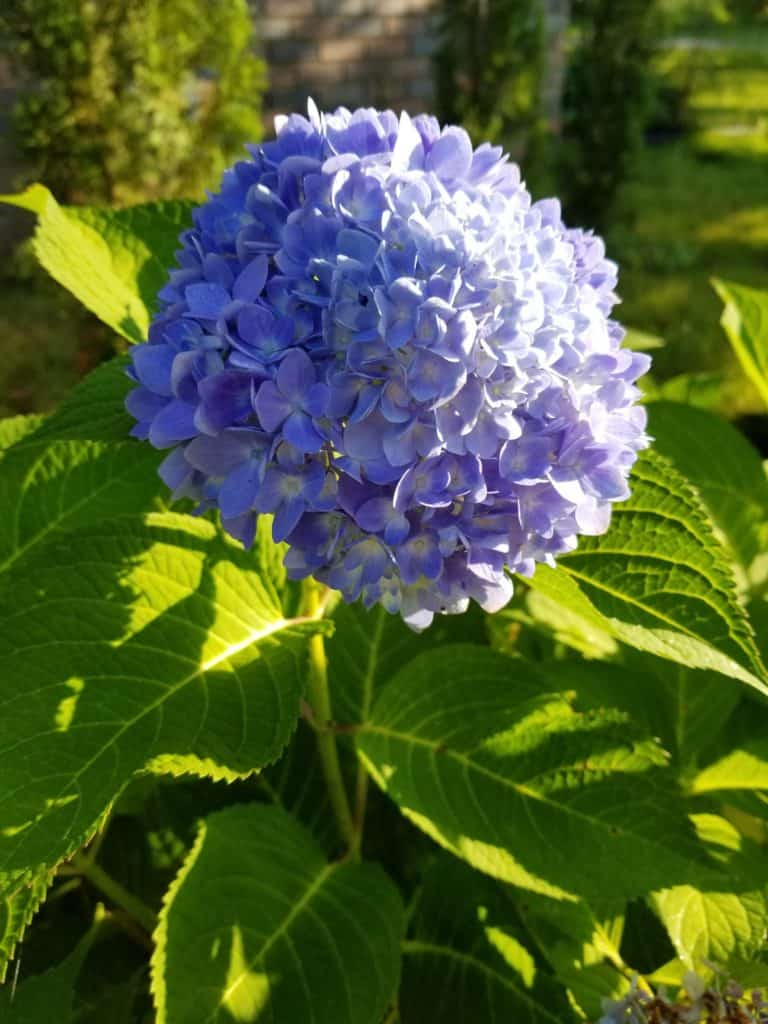 Easy care for beautiful hydrangeas, how to change the color of hydrangeas, round blue flower with green leaves