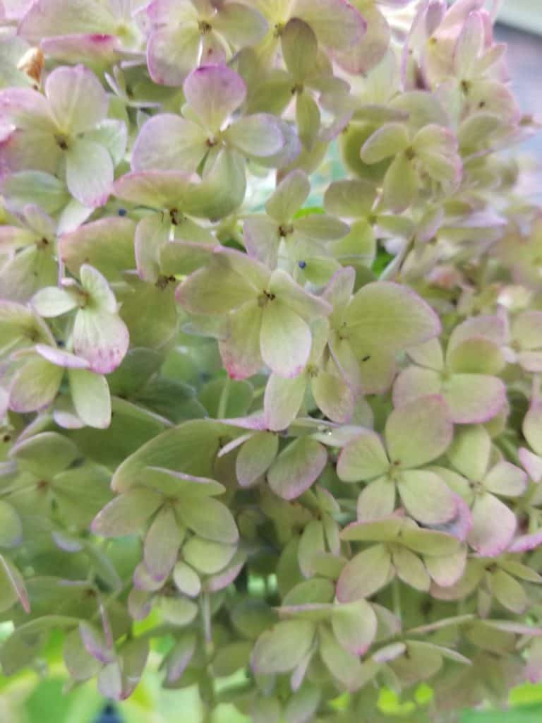 Easy care for beautiful hydrangeas, change the color of hydrangeas, pale green flower with a tinge of pink on the edges