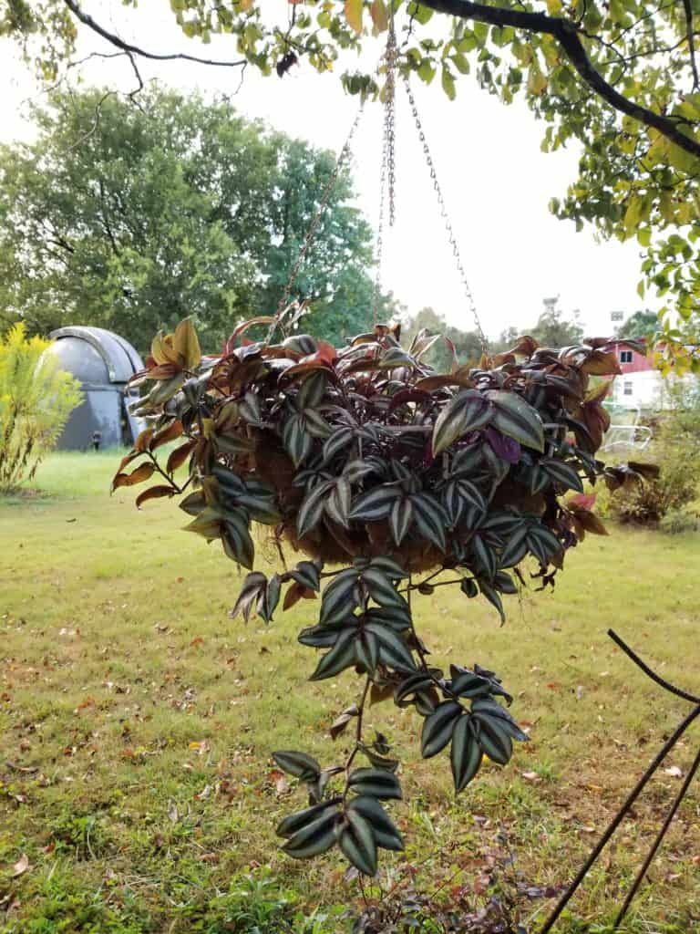 Easy Care Plants for Pots, Plants for hanging baskets, Wandering Jew