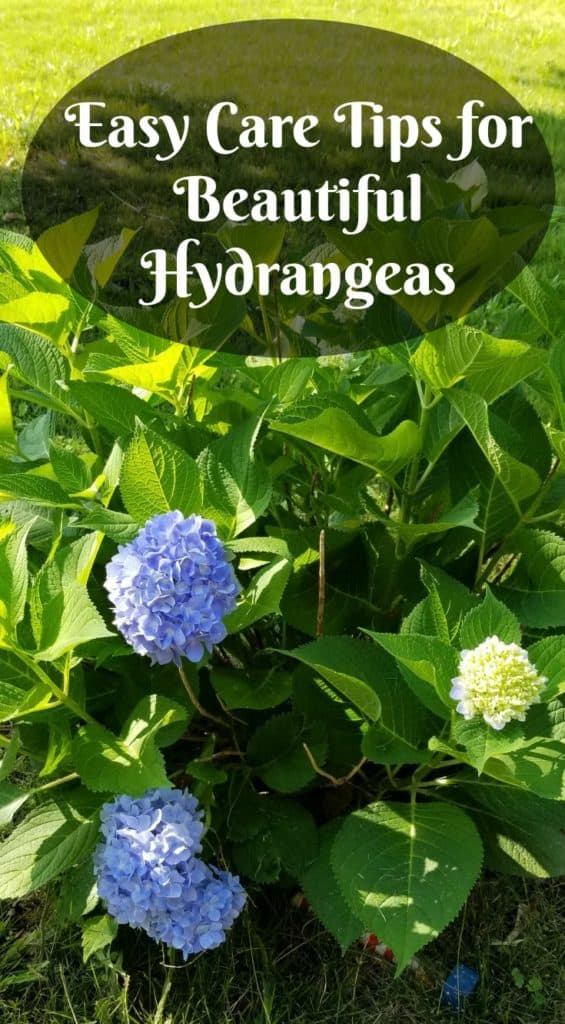 Easy care tips for beautiful hydrangeas, green shrub with blue flowers