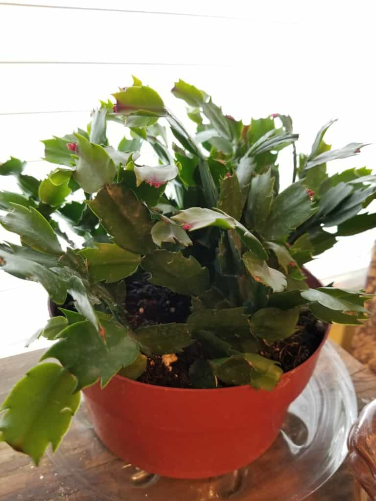 How to care for Christmas Cactus, Thanksgiving Cactus, Easter Cactus