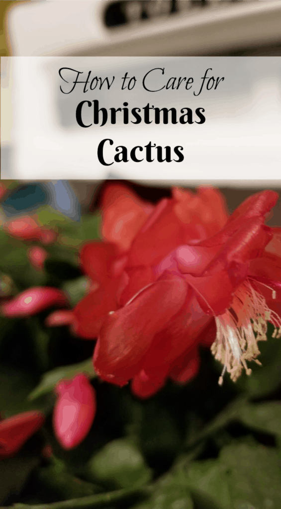 How to Care for Christmas Cactus, Easter Cactus, Thanksgiving Cactus