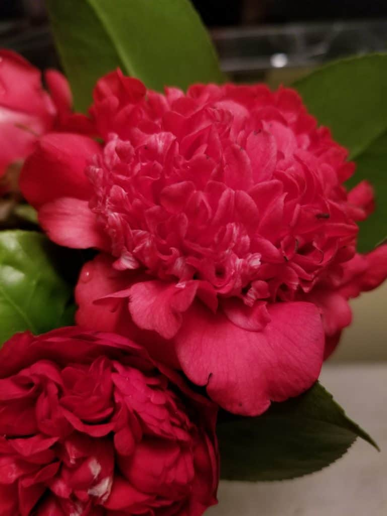 winter blooming Red Camellia Flower