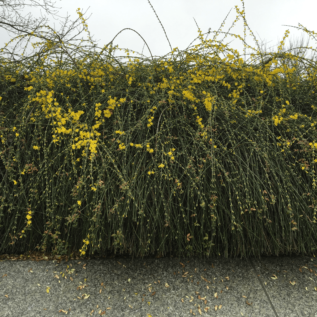 Winter Jasmine green hedge with tiny yellow flowers blooming in January
