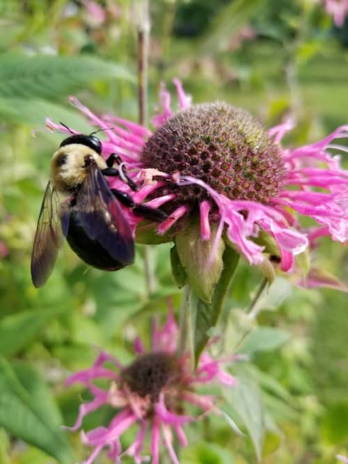 Bee in the pink Bee Balm
