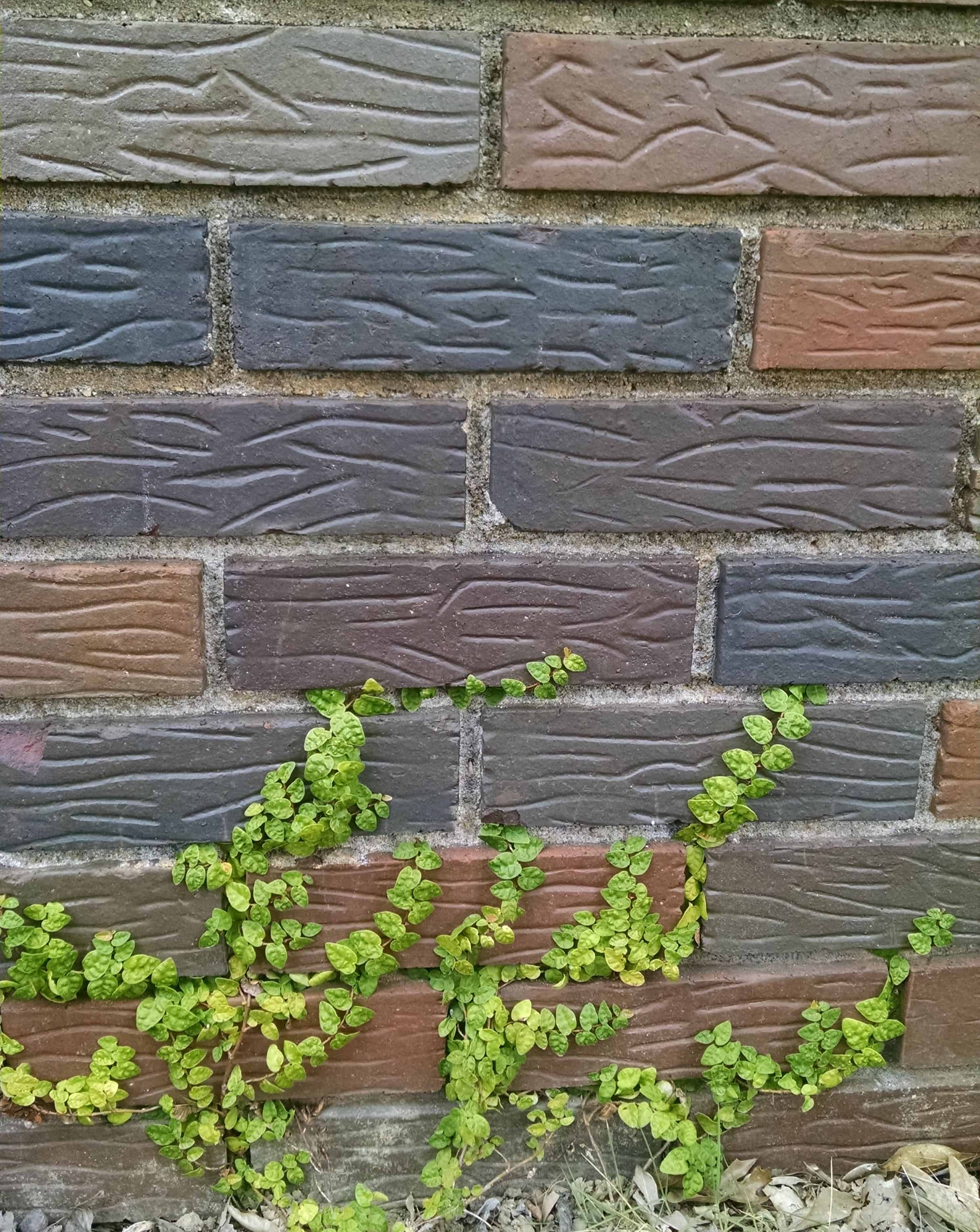 Creeping Fig vine growing on brick wall