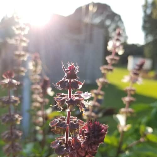 Purple basil flower in front of wood barn with sun setting