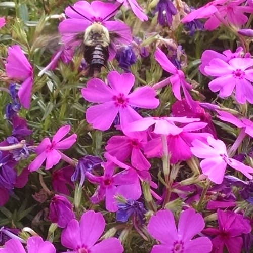 Hummingbird Moth on Pink creeping phlox