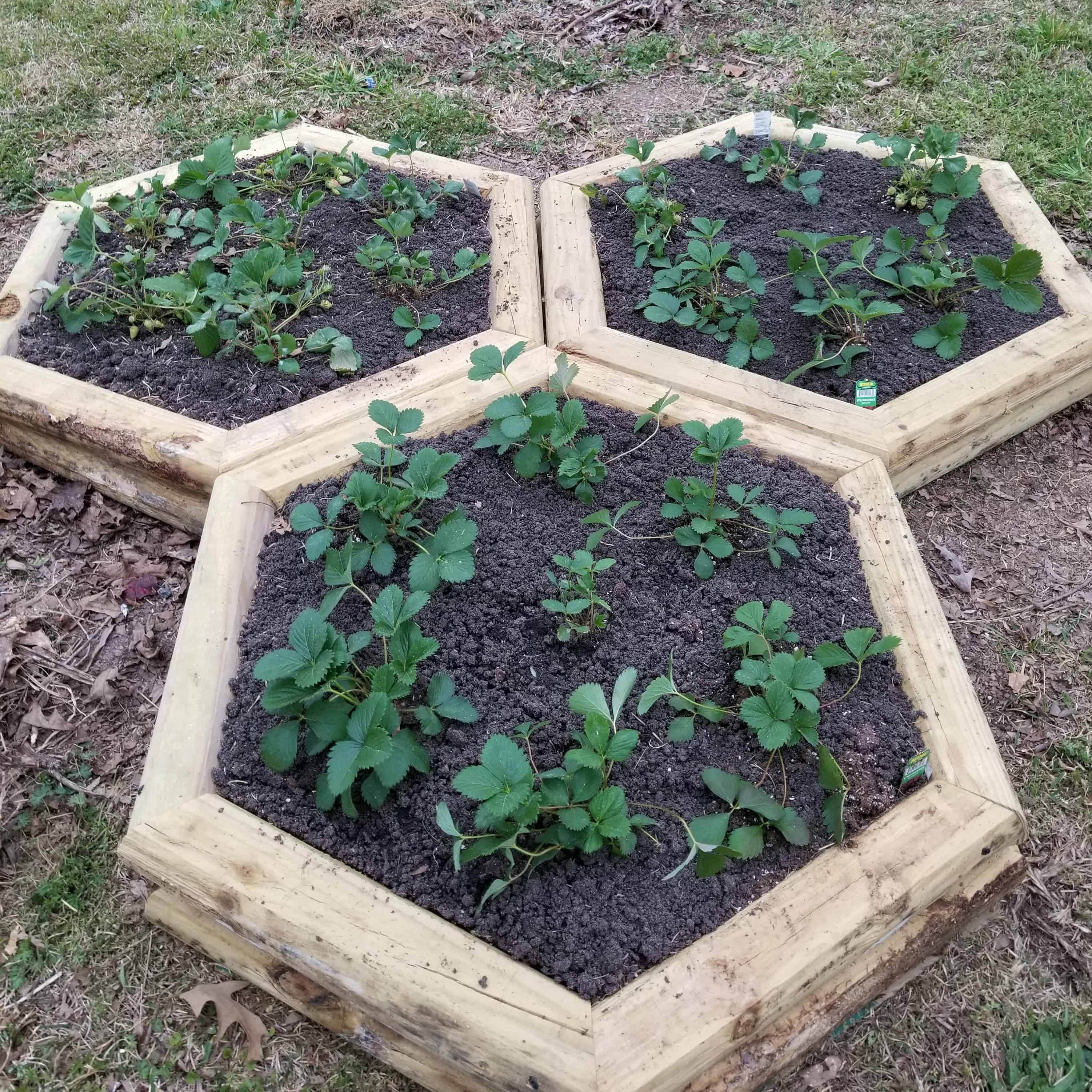 3 hexagon wood framed strawberry beds that resemble Mickey Mouse head and ears