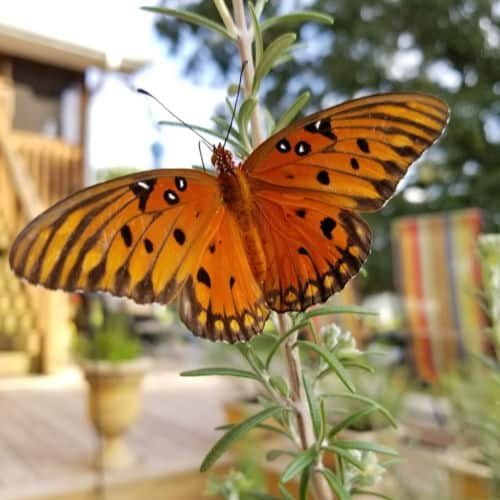 Orange and black butterfly on rosemary