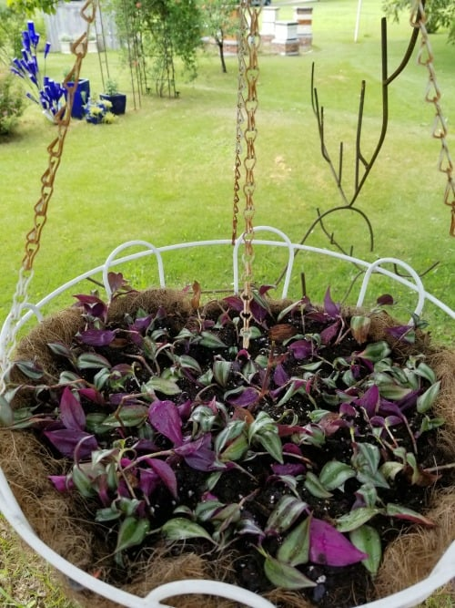 Hanging Basket of Wandering Jew Cuttings