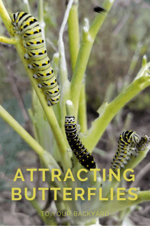 Swallowtail Caterpillars on Dill plant