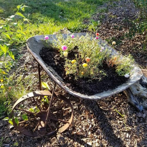 Wheelbarrow planted with multi color moss rose