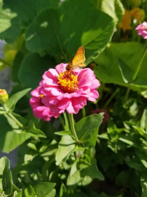 Butterfly feeding on a pink zinnia